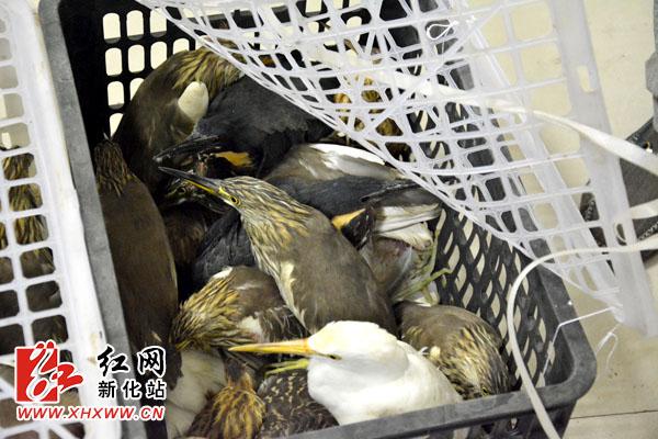 新化查处一起非法猎捕野生鸟类的重大案件