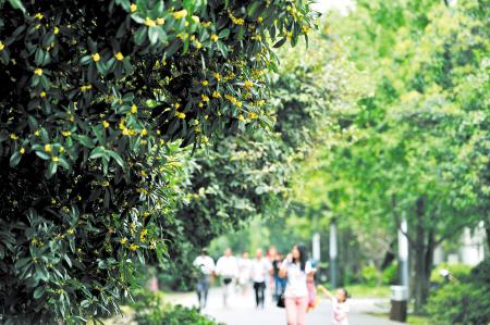 香气四溢,不少游客坐在桂花林的石凳上享受着这难得的美景.
