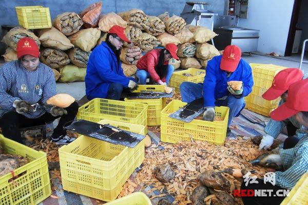 江永县老石头特色农业公司员工在整理红薯。