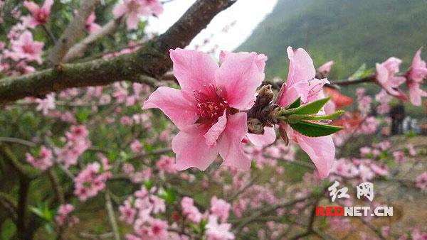 今天上午,第三届东江湖(白廊)桃花节在资兴市东江湖白廊乡开幕.