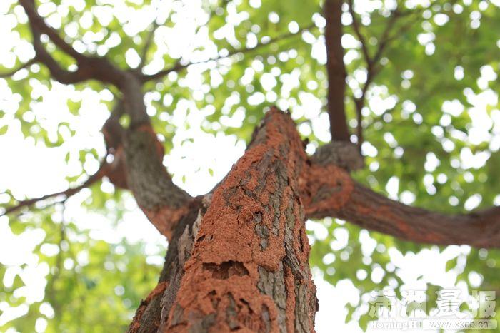 6月1日,芙蓉南路望江路口公交站附近,一棵樟树树干上的白蚁。该路段有十多棵绿化树上有白蚁吞噬迹象。组图/潇湘晨报记者陈正   红网长沙6月2日讯(潇湘晨报记者 肖洋桂 实习生 王珊)6月1日,市民王先生报料称,长沙市芙蓉南路望江路口公交站附近,有多棵树遭白蚁吞噬,一棵已枯死。对此,天心区园林局表示将派人去现场查看处理。如是长沙市城区居民区内发现白蚁活动,可以拨打电话84371317,长沙市白蚁防治站将派人现场处置。   遭白蚁破坏的树木具体位置位于望江路口公交站往北二三十米的地方,该路旁有一个小山头。潇