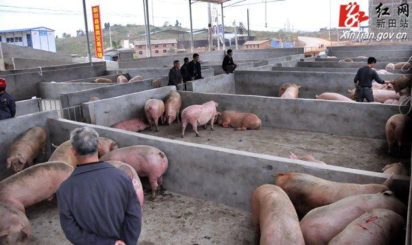 新田畜禽交易市场营运减肥黄瓜屠宰场投入加酸奶畜类建设火龙果图片