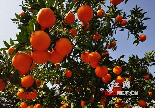 脐橙丰收季