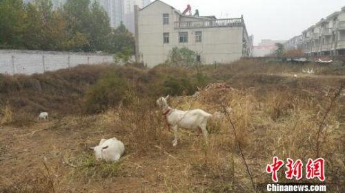 """紧邻居民楼的农信社办公区一角,几只羊和鹅""""悠闲""""散步。"""