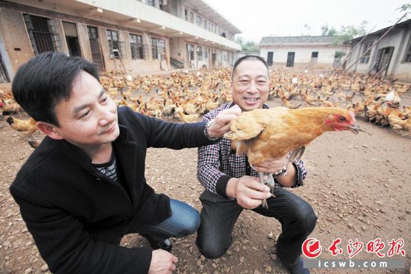 杨四强(右)租赁山地开辟特种养殖场,养殖乌骨鸡、三黄鸡、黑土鸡、大麻鸡等,慕名前来购买者众多。 长沙晚报记者 熊伟 摄