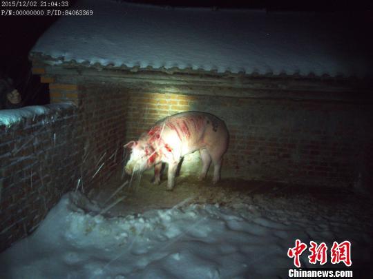"""黑龙江再现""""熊出没""""袭击牲畜狼狗被熊爪子拍死"""