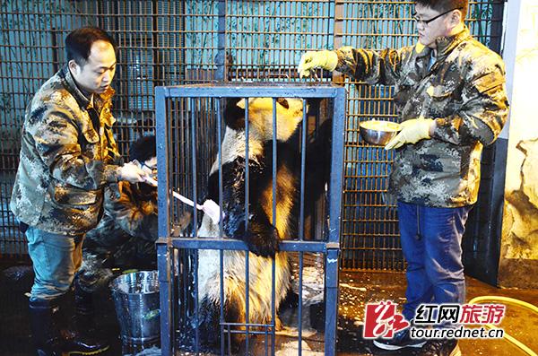 长沙生态动物园:动物也过圣诞节 月底再添俩大熊猫(图