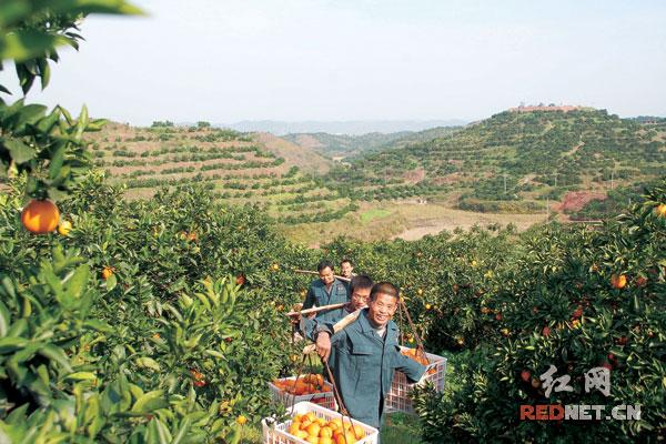 2015年,麻阳县冰糖橙喜获丰收,总产量30万吨,比去年增产12%,受各种综合因素影响,冰糖橙采摘和销售进度较慢,销售形势比较严峻。