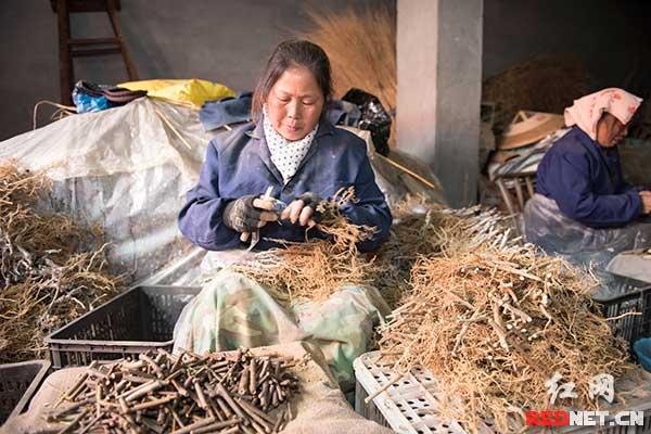 图说:2月19日,凤凰县廖家镇菖蒲塘村。贫困农妇雷志萍在合作社里嫁接猕猴桃果苗,每个十秒都能收入0.2元。