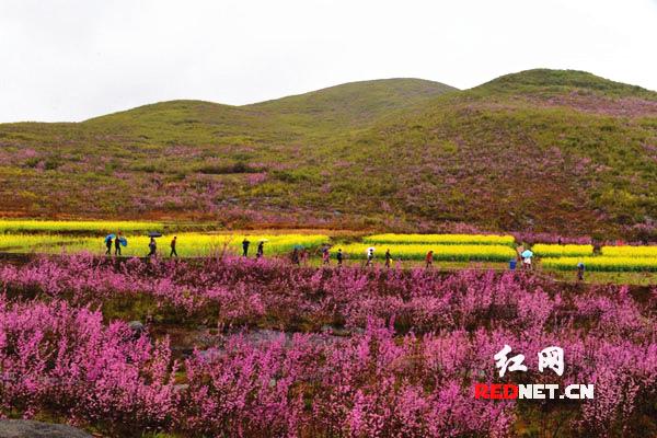 3月14日,笔者在江永县松柏瑶族乡方圆百里的山坡上看到,近万亩的野生