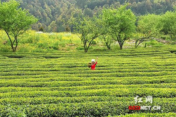 古丈县青竹山,苗家姑娘采茶图。