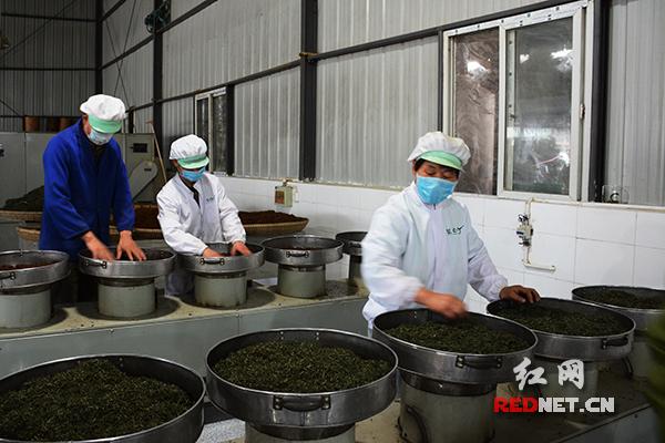 湘西牛角山生态农业科技有限公司内,制茶师正在制茶。