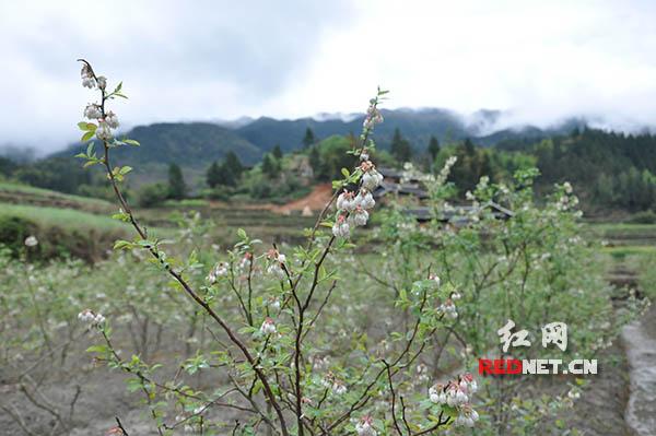 五郎溪村去年移植的蓝莓树正开着花。