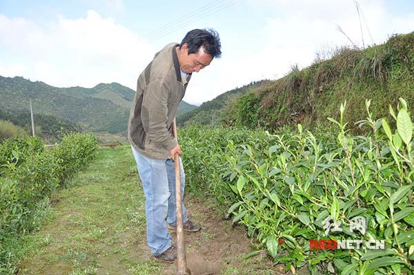 洞口县古楼乡七渡村肖龙依靠返租古楼茶公司的2亩茶地卖茶收入4000元,他正在茶叶地里除草。
