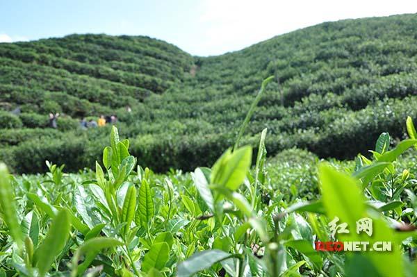洞口县的湖南古楼雪峰云雾茶有限公司在七渡村通过流转土地种植的1500亩茶园。