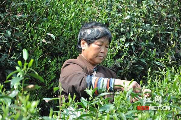 4月8日,正值茶叶采摘时节,七渡村的贫困户正在采摘茶叶。