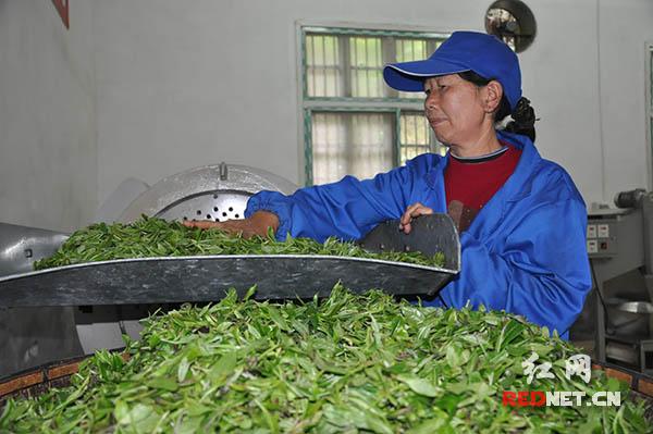 湖南古楼雪峰云雾茶有限公司吸纳当地贫困户进行茶加工生产。