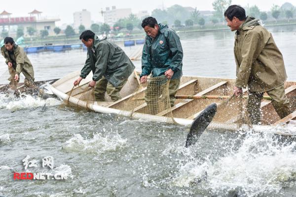 皇家湖渔民捕鱼。