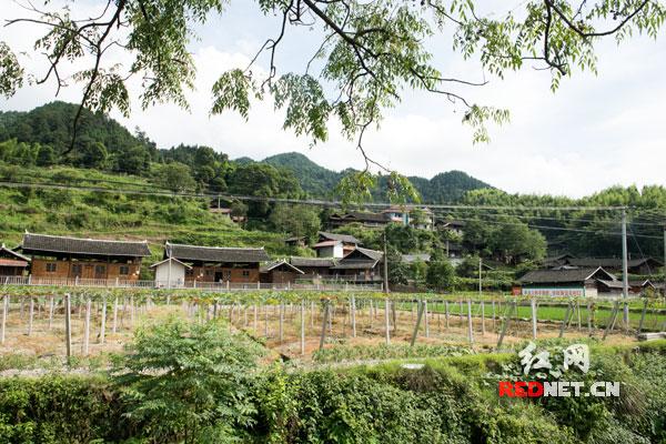 五郎溪村一栋栋经过提质改造的侗民族风格木质房与新种的成片葡萄园交相辉映