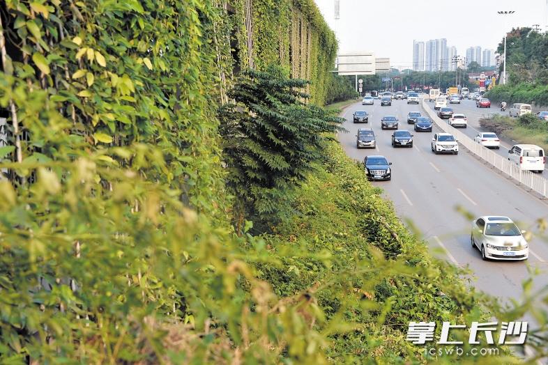 桔园立交桥上的立体绿化不但能有效减尘降噪,还能给行驶在周边的司机带来一丝绿意。 长沙晚报记者 王志伟 摄