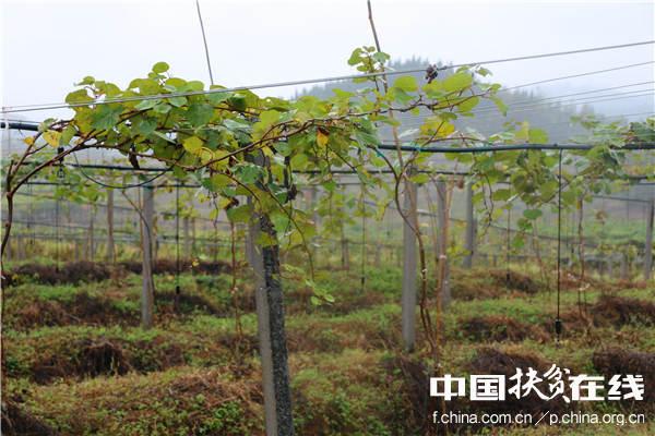 十八洞村最大的产业项目1000亩猕猴桃产业园。王振红摄