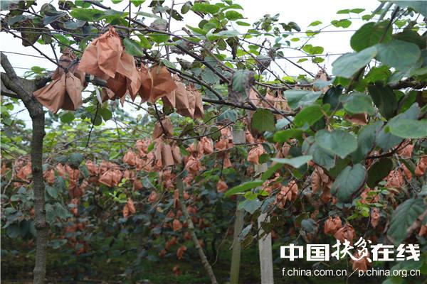 蒲江猕猴桃园。王振红摄