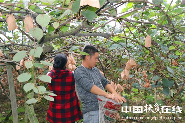 蒲江村民采摘猕猴桃。王振红摄