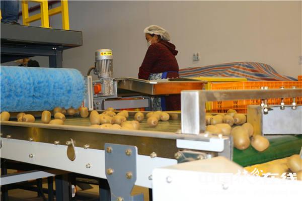 四川阳光味道果业公司猕猴桃分拣线。王振红摄