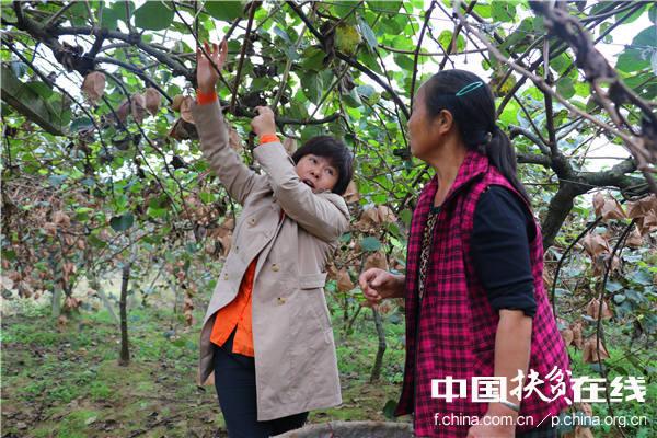 中科院武汉植物园猕猴桃专家钟彩虹(右),现场指导蒲江村民猕猴桃种植技术。王振红摄
