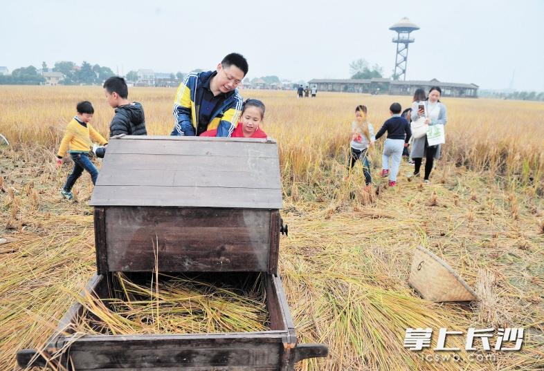 家长带着孩子踩打谷机脱稻体验农耕之乐。长沙晚报记者 贺文兵 摄