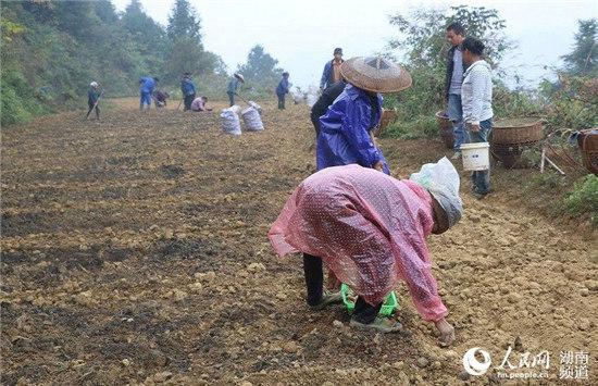 村民冒雨在山腰种植百合