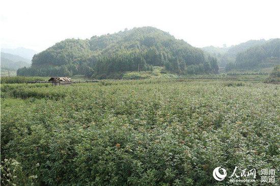 金洞村民种植的楠木苗