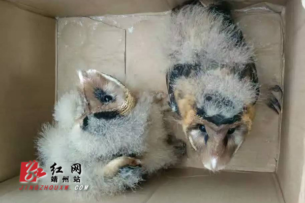 靖州市民救助2只猴面鹰02系国家二级保护动物_湖南