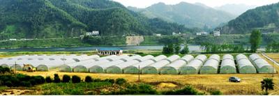 茶叶种苗基地