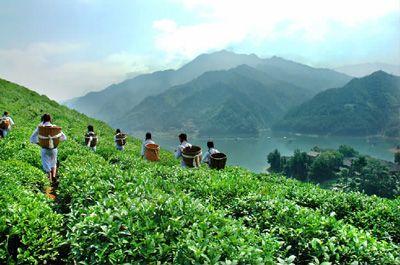 凤凰岛茶园