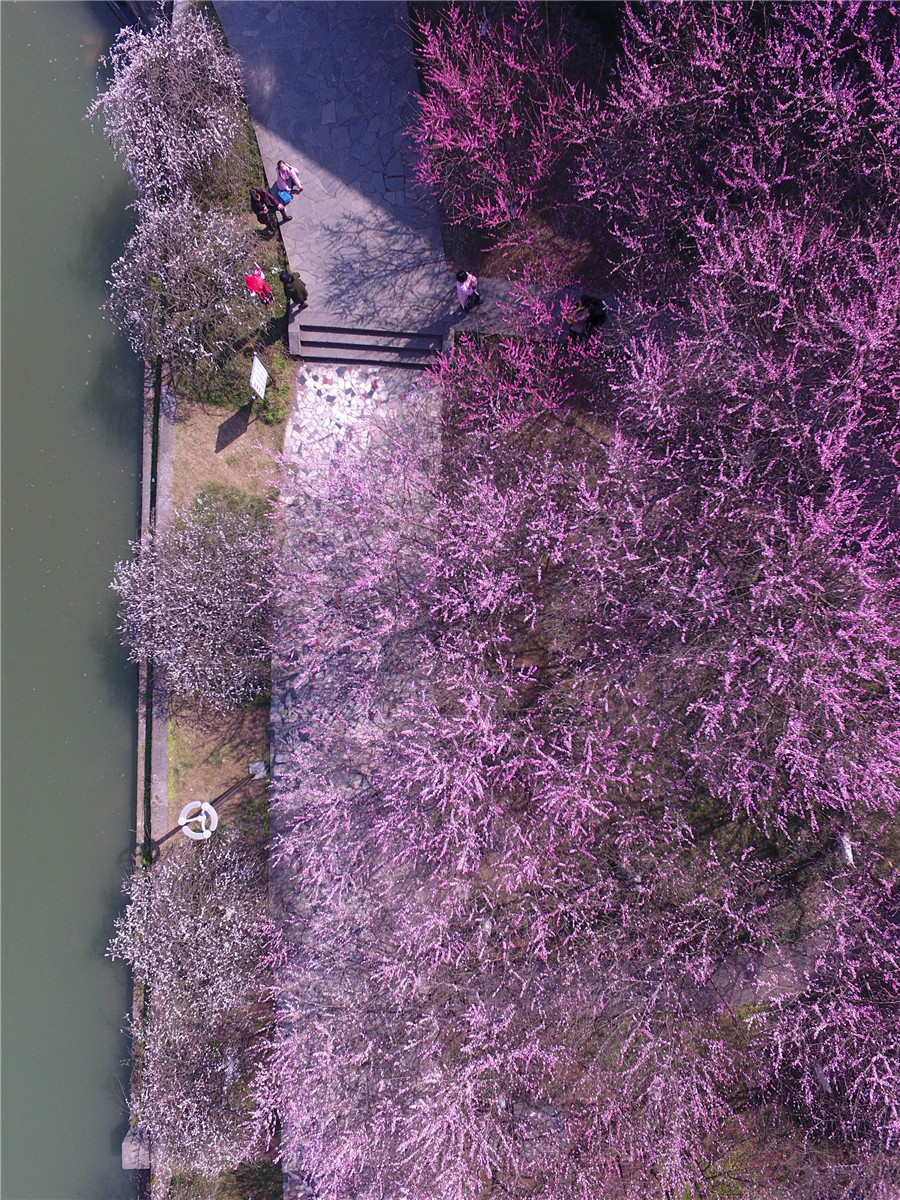 Plum blossoms seen across China