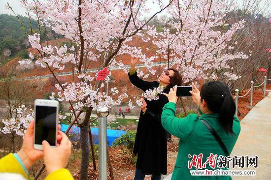 游客在樱花树下赏樱拍照