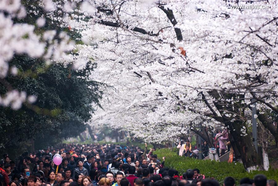 Visitors flock to cherry blossoms at Wuhan University