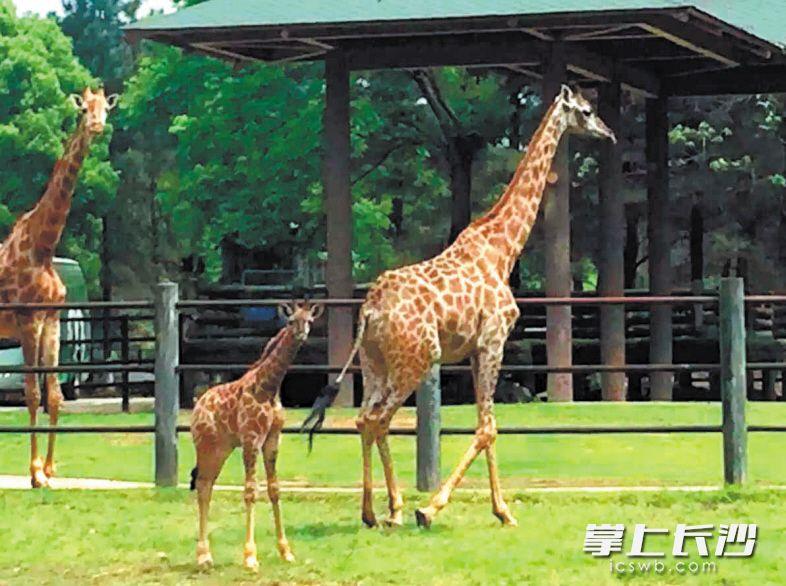 长沙生态动物园新生小长颈鹿1个多月长高了40厘米