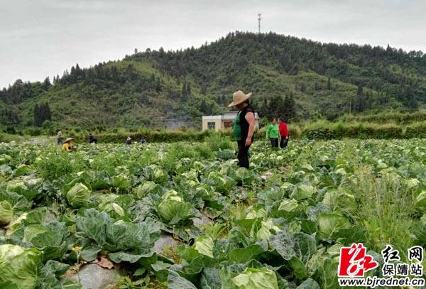 保靖:无公害绿色蔬菜基地促农增收