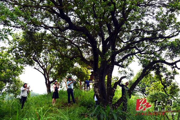 """怀化522年的""""杨梅树王""""树干上长出杨梅果"""