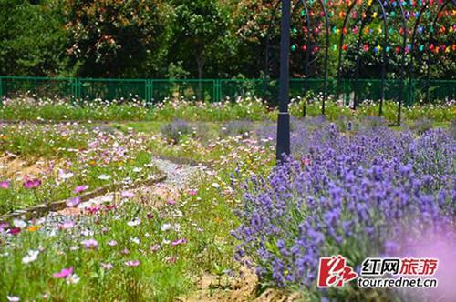 The fragrance of lavender envelopes Changsha
