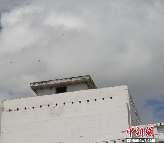 图为燕农家的燕屋,几只燕子在燕屋外盘旋。林永传 摄