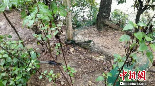 2.5米大蛇闯民宅偷吃鸡被警方擒获后放生
