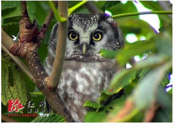 道县救助并放生一只国家二级保护野生动物猴面鹰