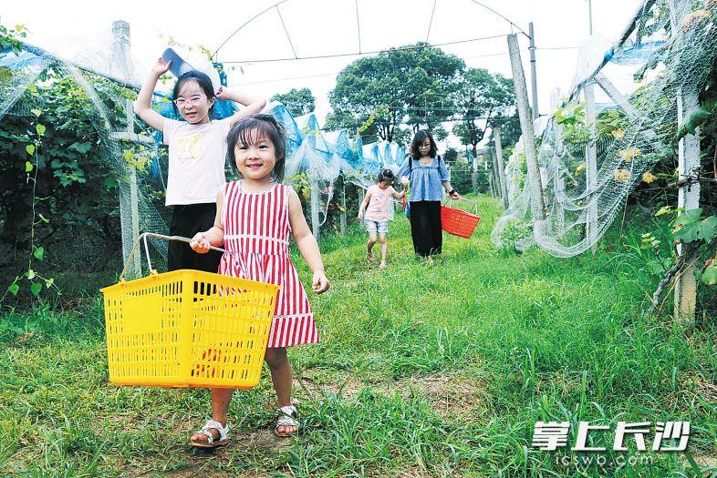 昨日,长沙县青山铺镇,很多市民、游客带着孩子来到葡萄园采摘葡萄。 长沙晚报记者 小刘军 摄