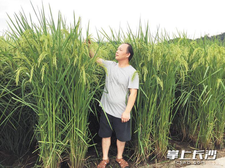 试验中的全新水稻品种最高接近两米。王化永供图