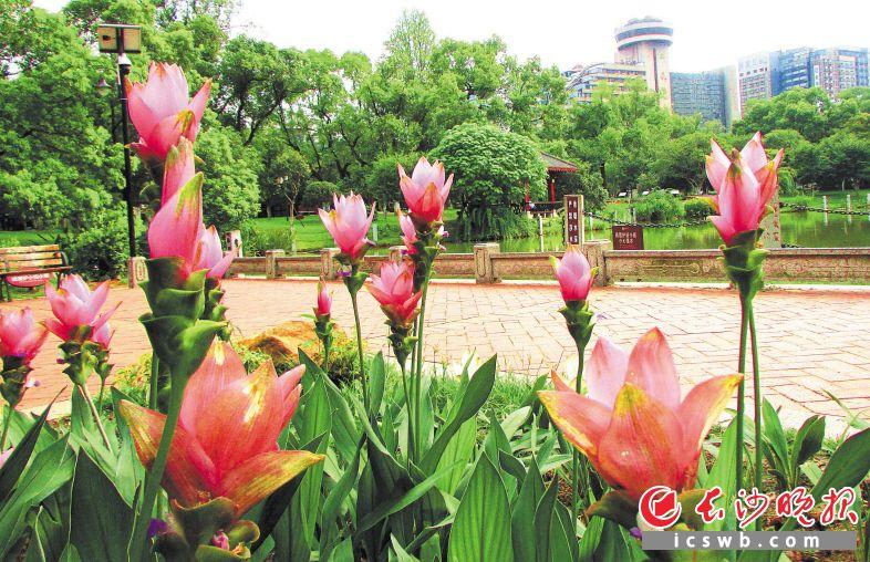 晓园公园内盛开的姜荷花展现出难得一见的美丽。长沙晚报记者 周柏平 通讯员 宋卓娟 摄影报道