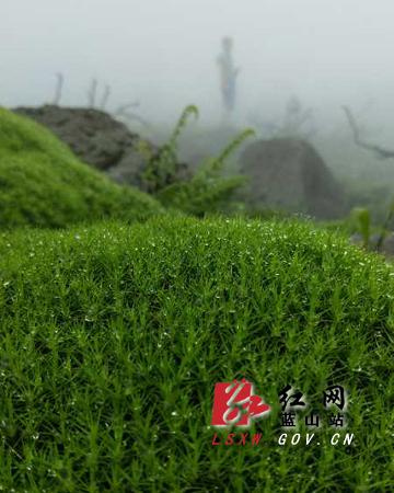 蓝山发现近400亩连片高山青苔群(图片)