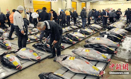 1月5日,专营水产品和果蔬等生鲜食品的日本主要批发水产市场迎来了新年首个交易日。一条北海道户井产黑金枪鱼拍出3249万日元约合人民币261万元高价。据悉,这是1999年统计开始以来的最高价。图为顾客正在挑选自己中意的金枪鱼。